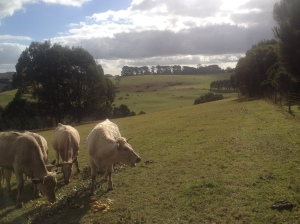 The cows were very happy to feast on the apples that were too damaged to press.