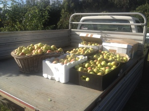 The back of the old ute with our crop of Cox's ready to head to Margaret and Peter's.