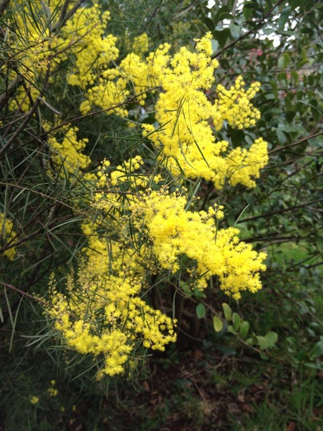 Acacia boormanii.jpg