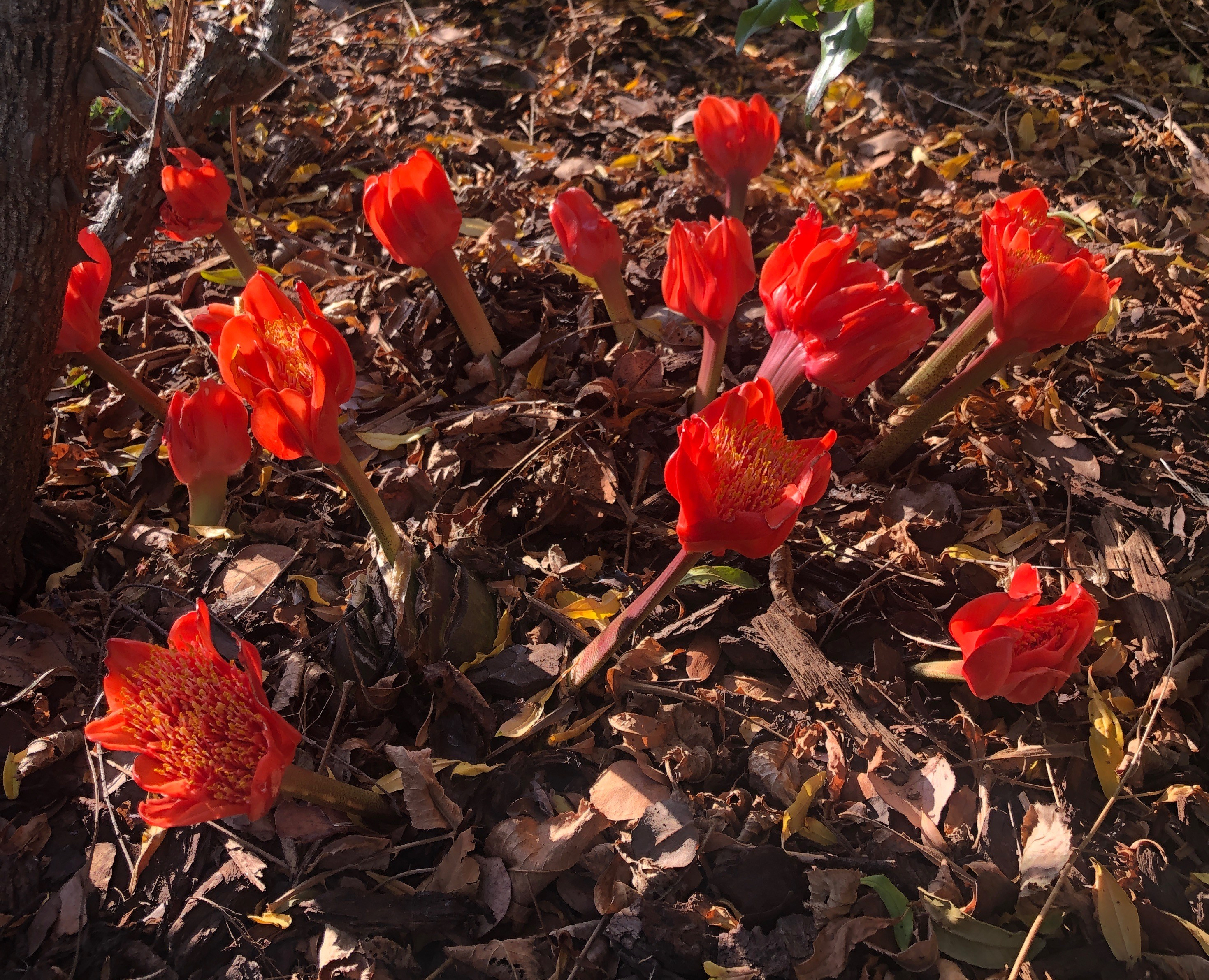 Nerines and Haemanthus