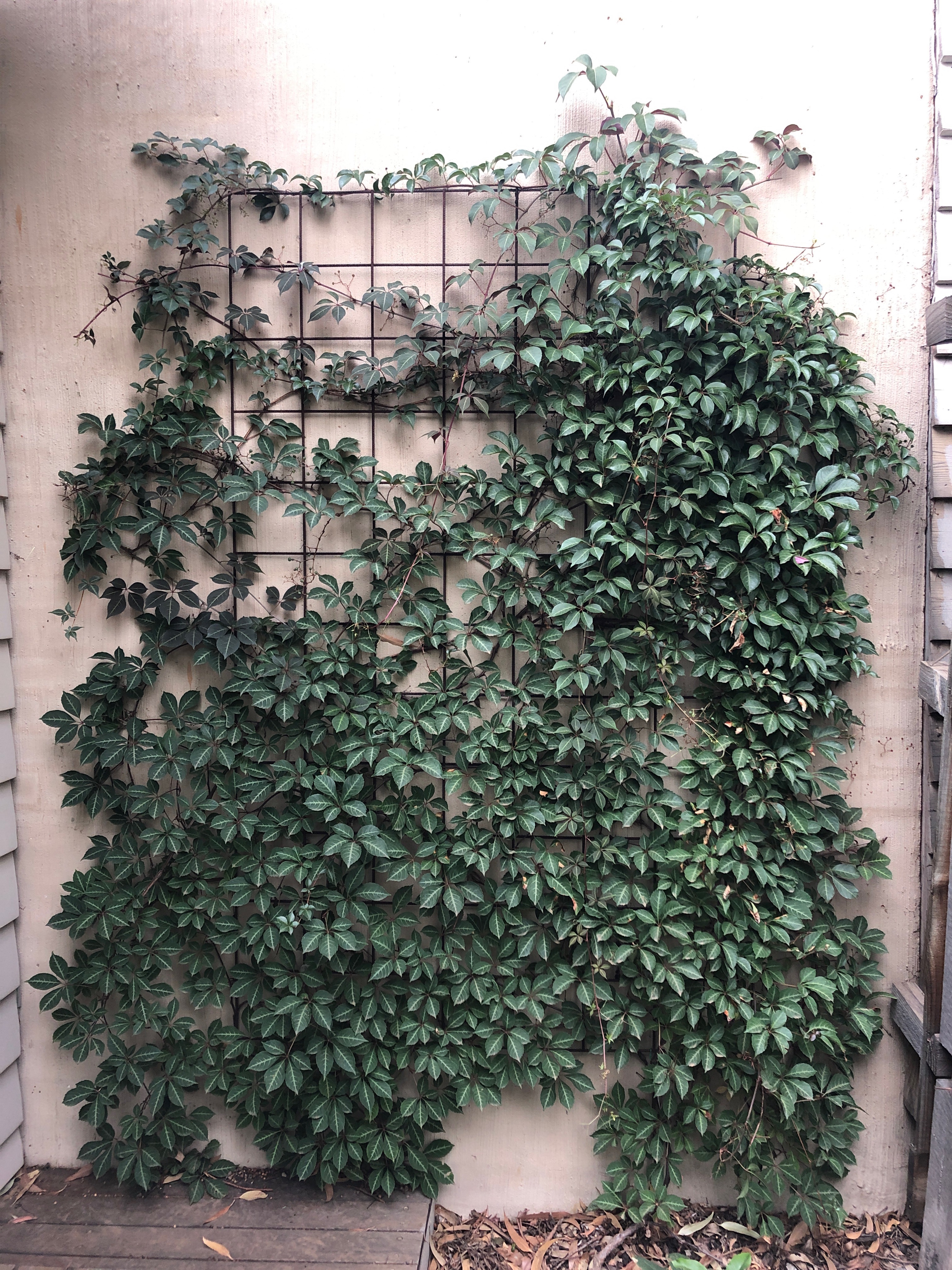 Parthenocissus henryana silver vein creeper