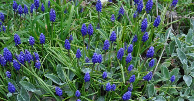 Grape hyacinths and lambs ears, Clear Springs