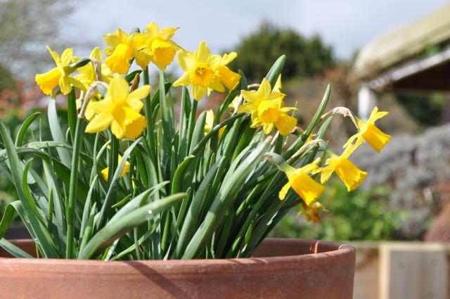 Narcissus tete-a-tete